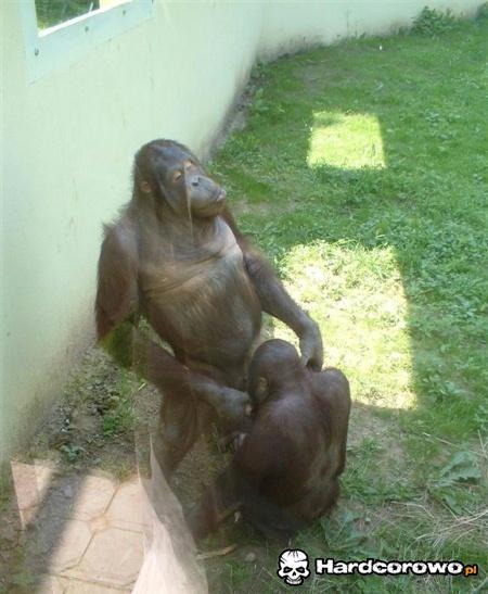 Małpy też czasem świntuszą - 1
