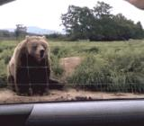 Machający niedźwiedź