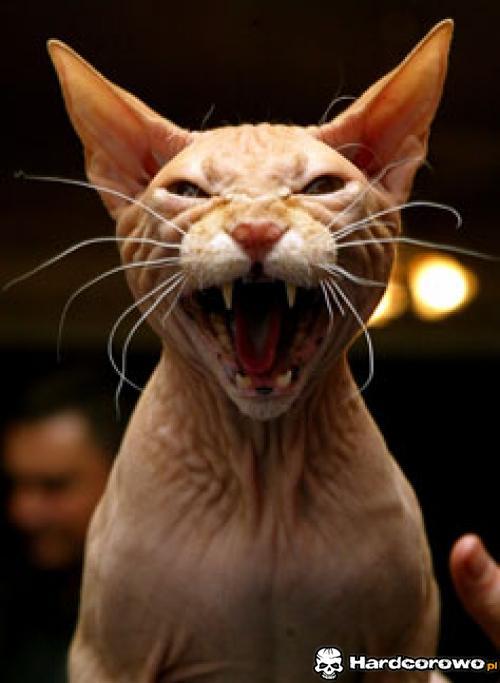 Najbrzydsze koty świata - 2