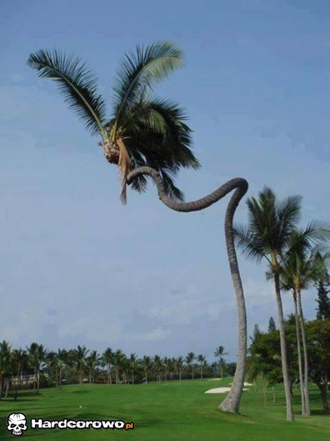 Zakręcona palma - 1